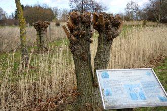 Blick in den jungen Schulwald. Im Vordergrund eine Silberweide nebst Informationstafel / Beate Ziehres
