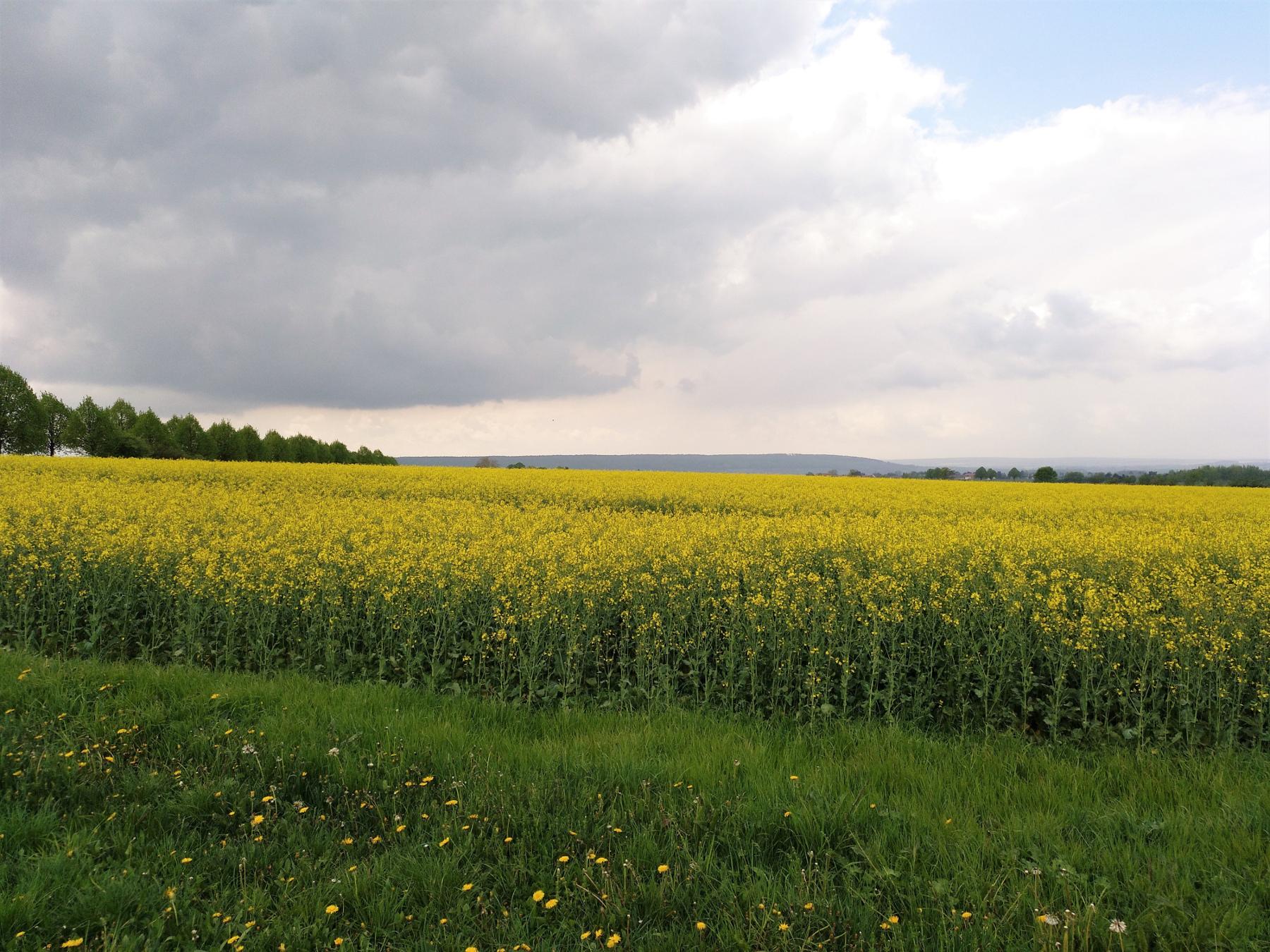 gelb blühendes Rapsfeld in der Landschaft des nördlichen Harzvorlandes