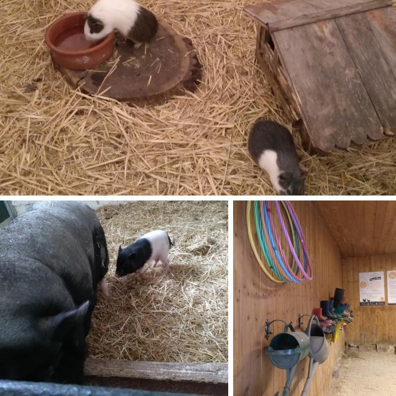 Ferkel, Meerschweinchen, sauber aufgeräumter Arbeitsbereich in einer Scheune